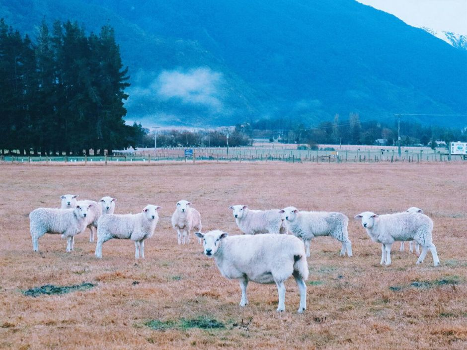 domba NZ